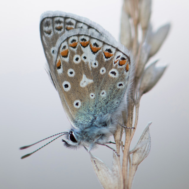 """4B9A7274 Common Blue Male 190804 FNGY"" stock image"