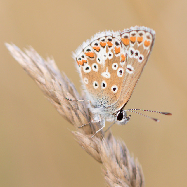 """4B9A7192 Brown Argus 190804 FNGY"" stock image"