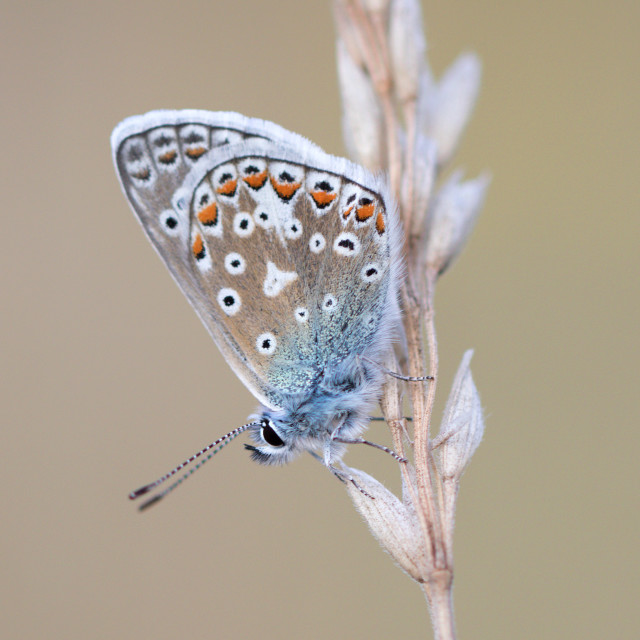 """4B9A7251 Common Blue Male 190804 FNGY"" stock image"
