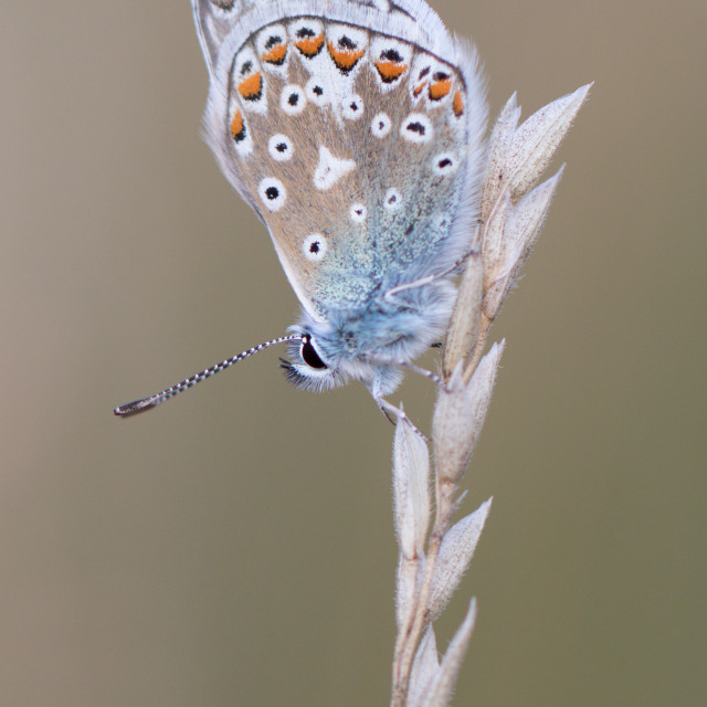 """4B9A7220 Common Blue Male 190804 FNGY"" stock image"