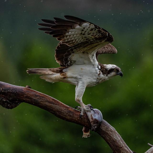 """""""Osprey's catch"""" stock image"""