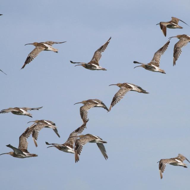 """Curlews in flight"" stock image"