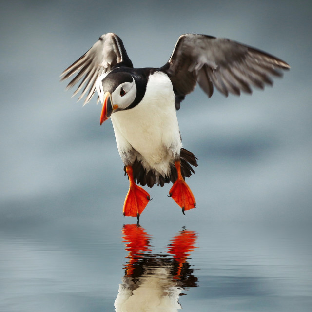 """""""Puffin Reflection"""" stock image"""