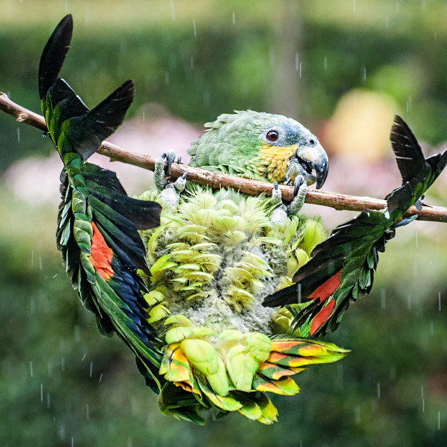 """""""Polly Needs a Brolly!"""" stock image"""