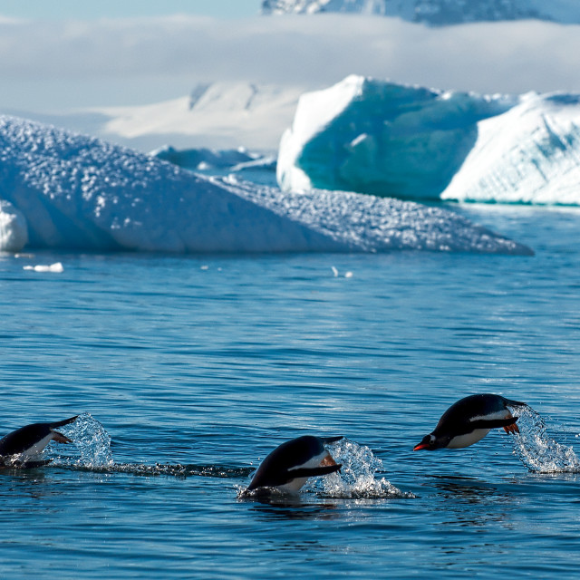 """""""Gentoos swimming off Cuverville Island"""" stock image"""