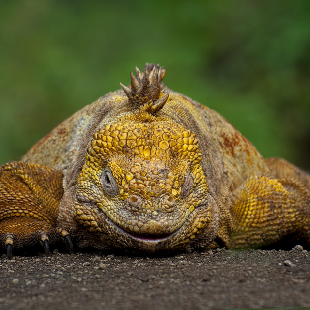 """""""Land Iguana"""" stock image"""
