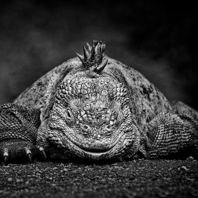 """""""Land Iguana- Monochrome"""" stock image"""