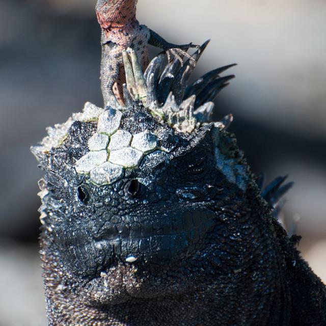 """Larva Lizard on Marine Iguana"" stock image"