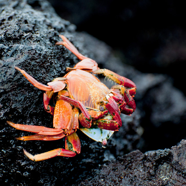 """Mating sally lightfoot crabs"" stock image"