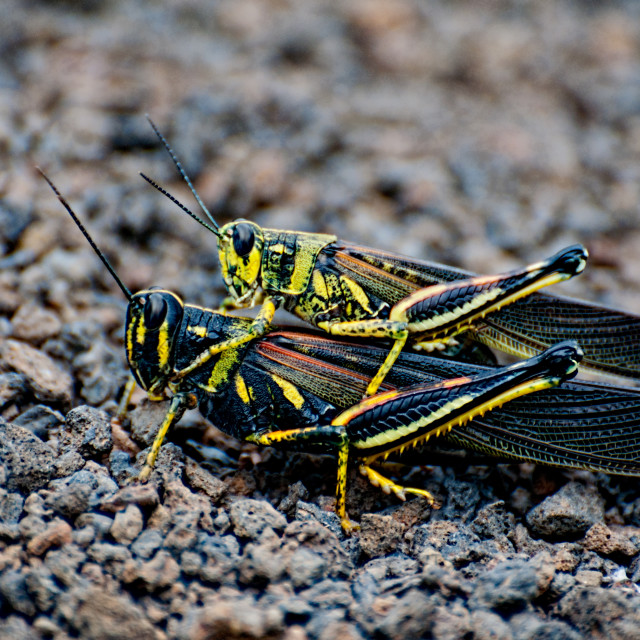 """""""Mating Grasshoppers"""" stock image"""