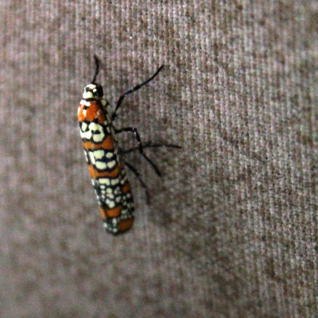 """orange and white moth"" stock image"