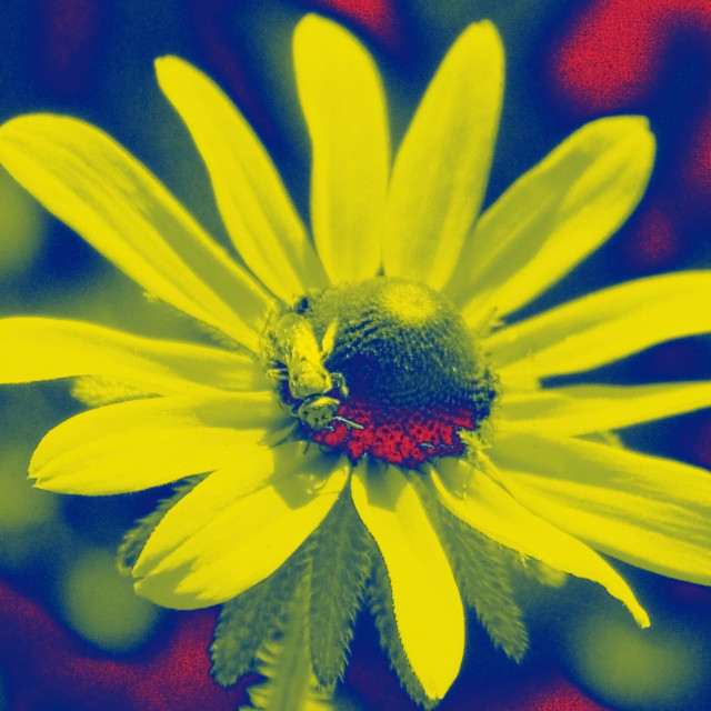 """yellow fly yellow flower"" stock image"
