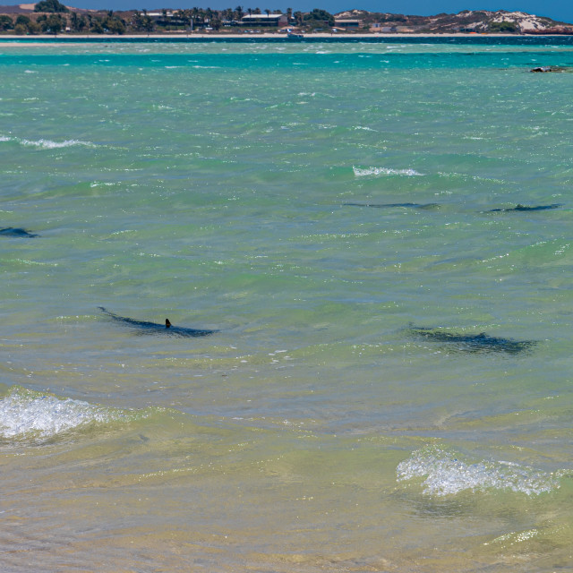 """""""Reef sharks swimming along the beach close to Coral Bay"""" stock image"""