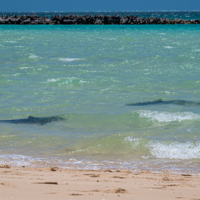 """""""Silhouette of two reef sharks breading close to the beach of Coral Bay"""" stock image"""