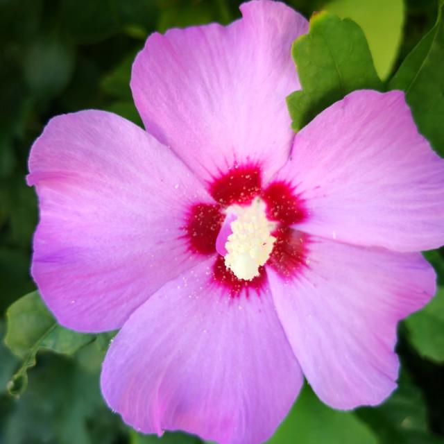 """Pink hibiscus"" stock image"