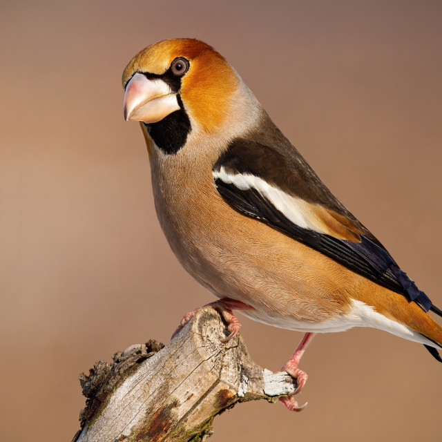 """""""Side view of garden bird hawfinch sitting on branch in winter with copy space"""" stock image"""