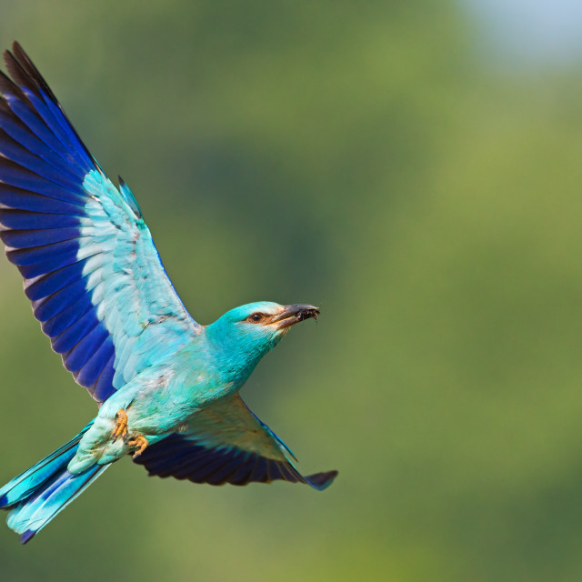 """""""European roller flying in the sky with green background and space for text."""" stock image"""