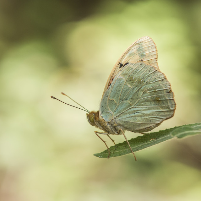 """Cardinal butterfly, Argynnis pandora basking in sun on a green leaf."" stock image"
