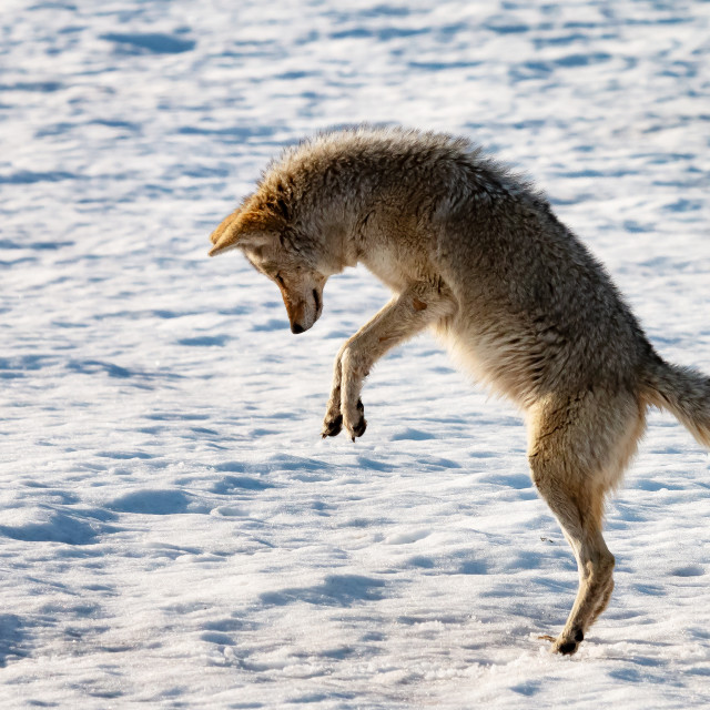"""Hunting coyote, Yellowstone."" stock image"
