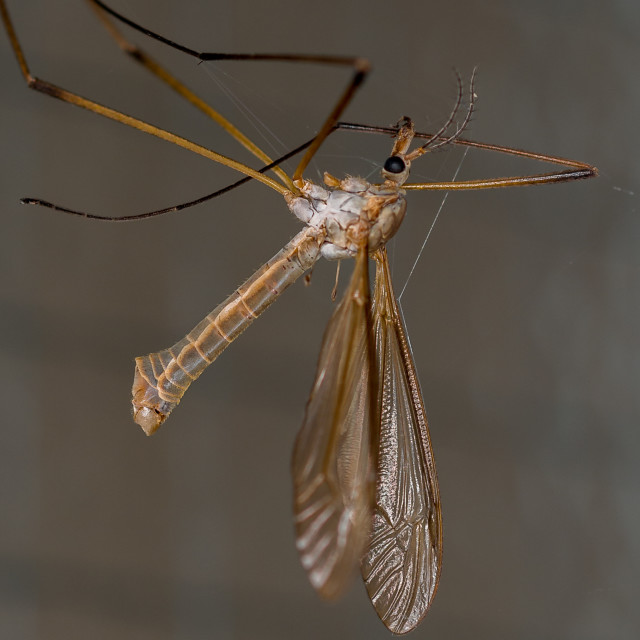 """Trapped Crane Fly"" stock image"
