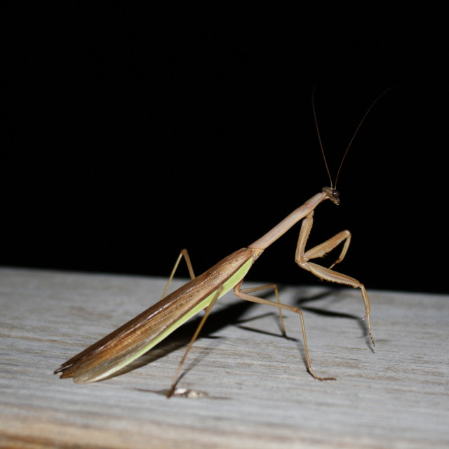 """praying mantis at night"" stock image"