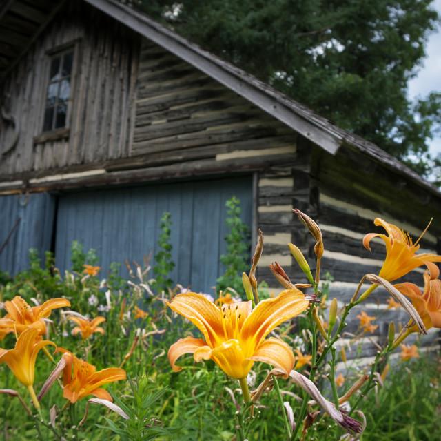 """""""Daylilies"""" stock image"""