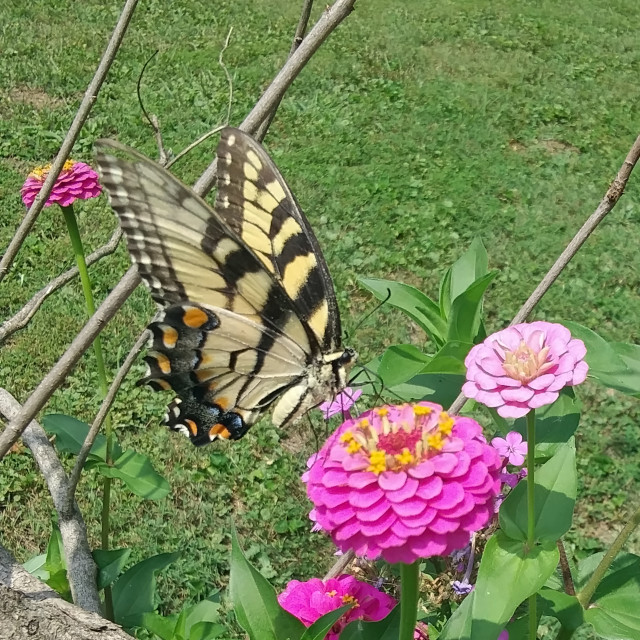 """Appalachian Swallowtail"" stock image"