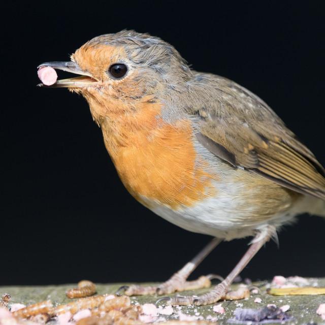 """Robin (Erithacus rubecula)"" stock image"