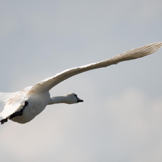 """Flying Mute Swan (Cygnus olor)"" stock image"