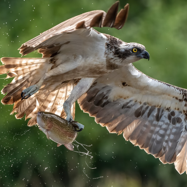 """""""OSPREY WITH LARGE TROUT"""" stock image"""
