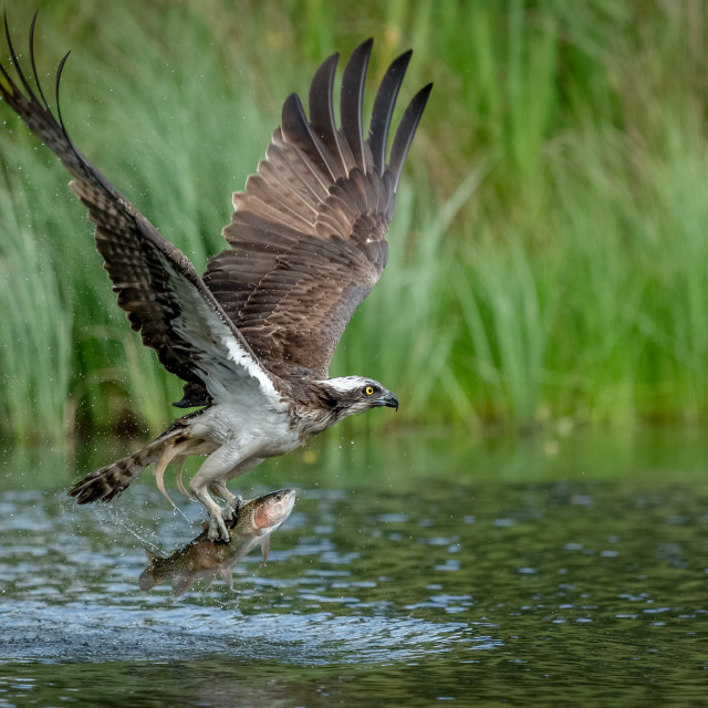 """""""OSPREY TAKE OFF WITH FISH"""" stock image"""