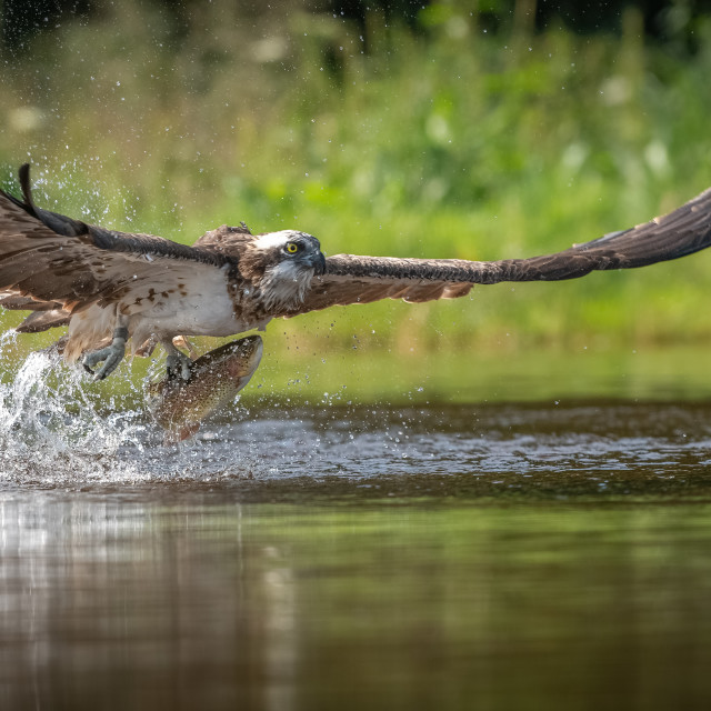 """OSPREY AT MOMENT OF TAKE OFF WITH FISH"" stock image"