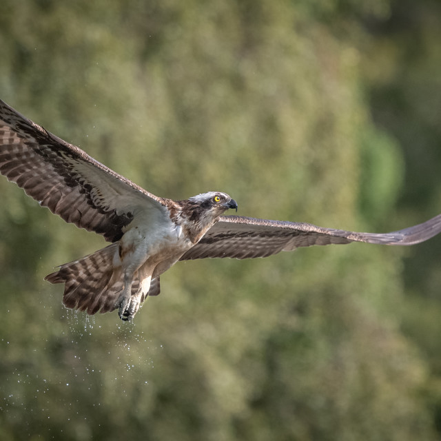"""OSPREY IN FLIGHT"" stock image"