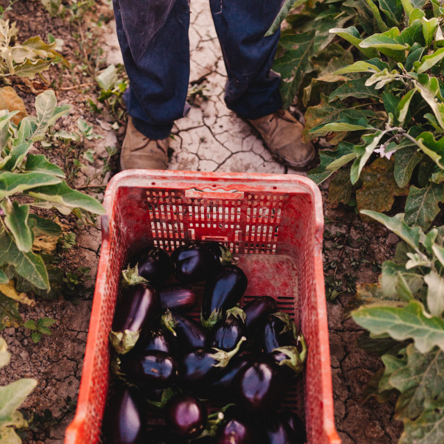 """""""Young farmer man with a eggplants crate on the land"""" stock image"""