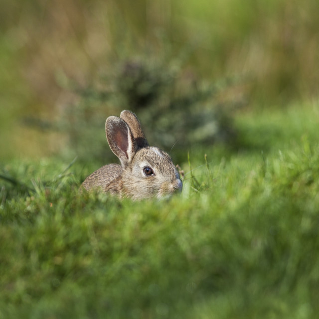 """Rabbit Hiding in Grass, UK"" stock image"