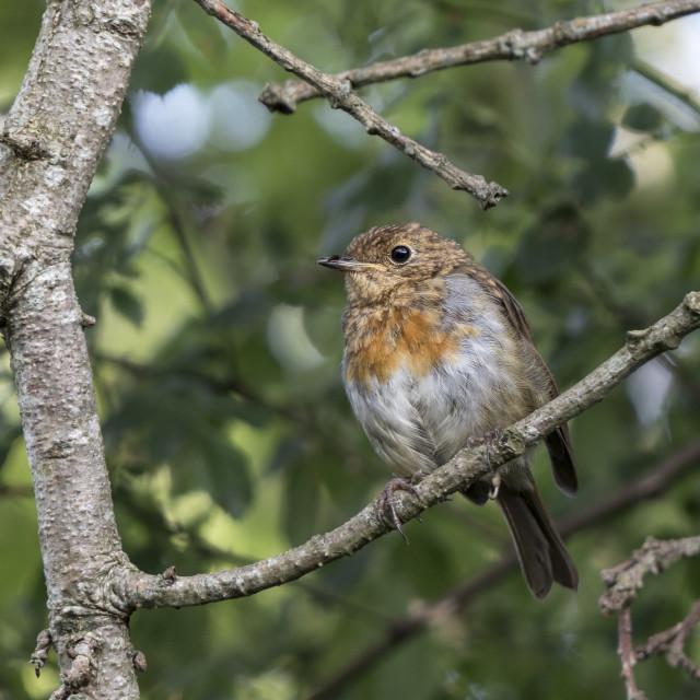 """European, Robin Fledgling (Erithacus rubecula), with Juvenile Pl"" stock image"
