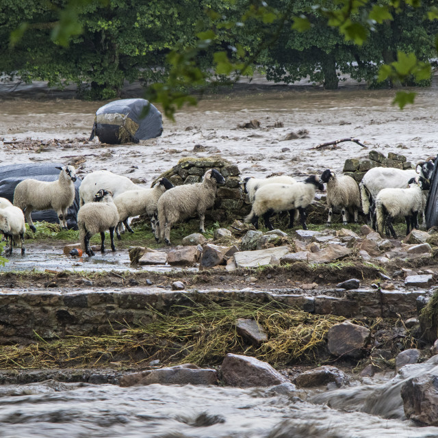 """""""Sheep Trapped by Floodwater, Holme Farm, Arkengarthdale, North Y"""" stock image"""