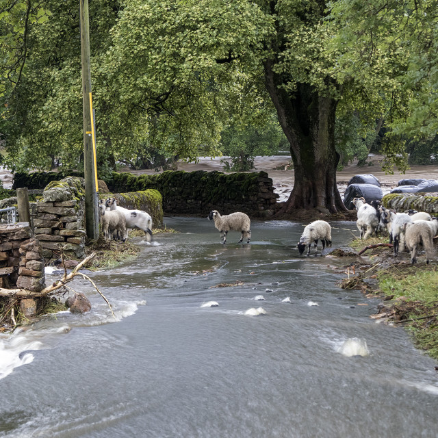 """""""Sheep Surrounded by Floodwater, Holme Farm, Arkengarthdale, Nort"""" stock image"""