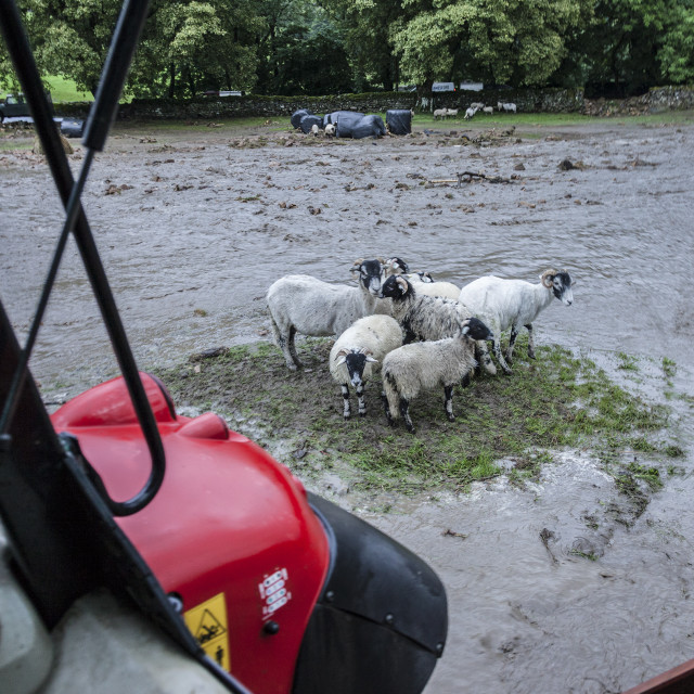 """""""Sheep Surrounded by Floodwater, Holme Farm, 30th July 2019, North Yorkshire, UK (image captured with owner's permission)"""" stock image"""