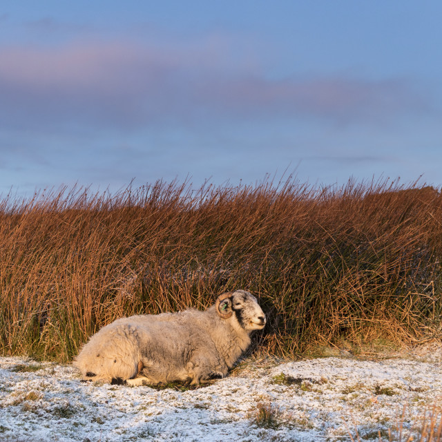 """""""Swaledale Sheep Sheltering from the Weather as the First Rays of"""" stock image"""