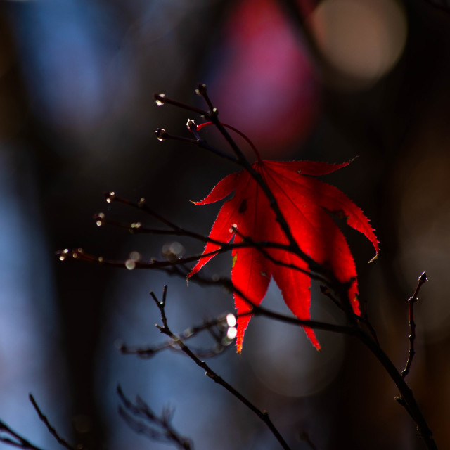 """Red Japanese Maple Leaf in Autumn"" stock image"