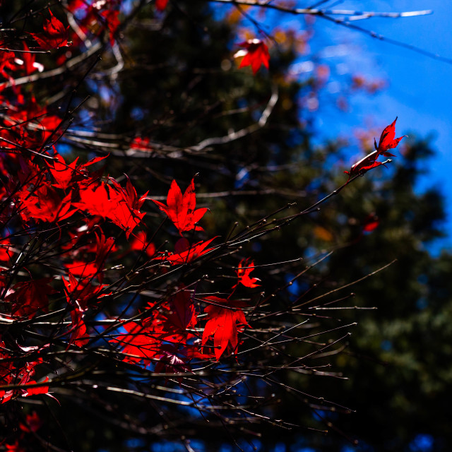 """""""Autumnal Foliage on the Branches of a Japanese Maple Tree"""" stock image"""