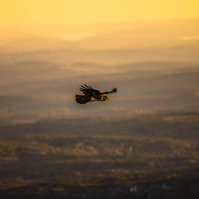 """Red Tailed Hawk in Flight at Sunset looking at the camera"" stock image"