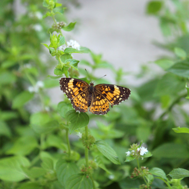"""crescent butterfly and mint"" stock image"