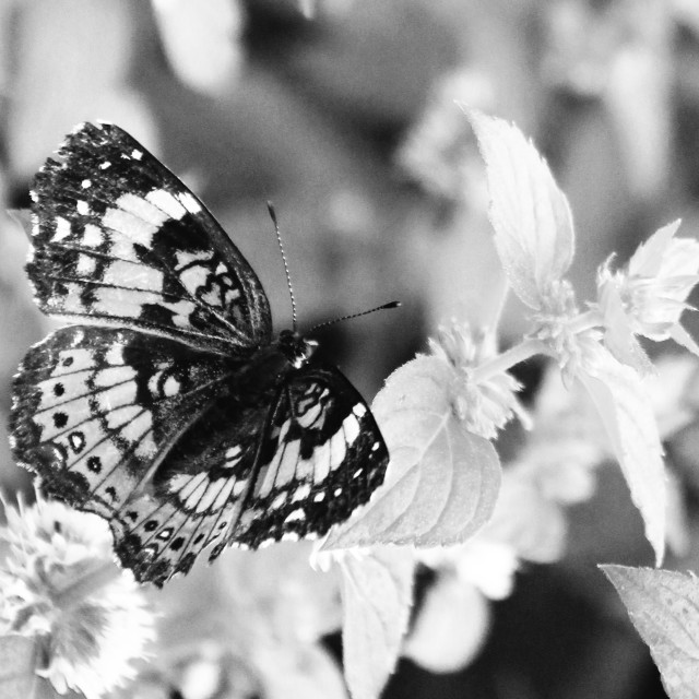 """black and white butterfly"" stock image"