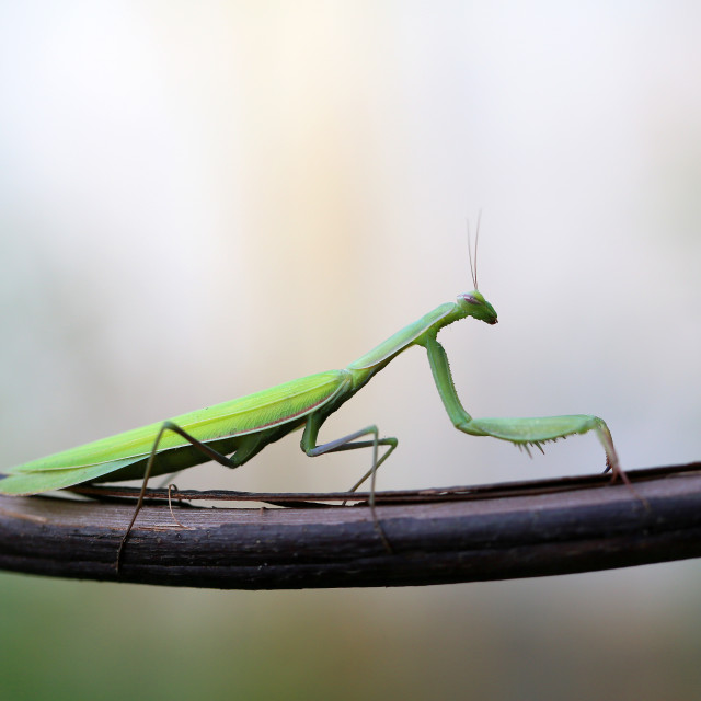 """The European Mantis is an invasive species that enters Europe"" stock image"