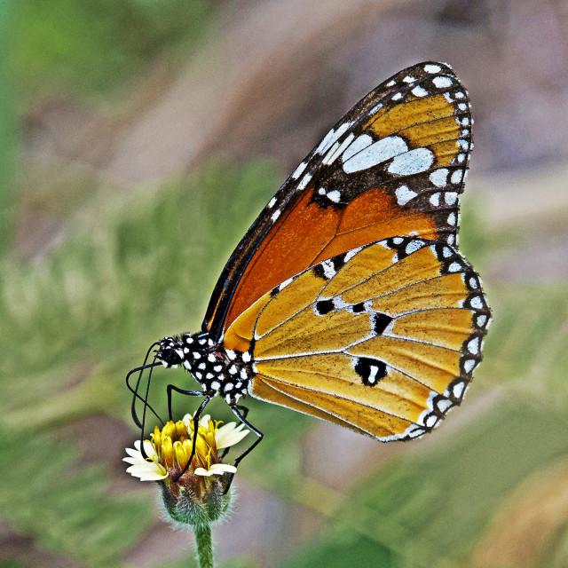 """Plain Tiger (Danaus chrysippus)"" stock image"