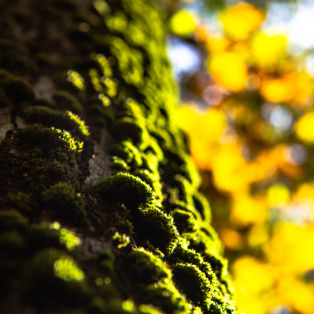 """Moss Covered Tree Bark in Autumn"" stock image"