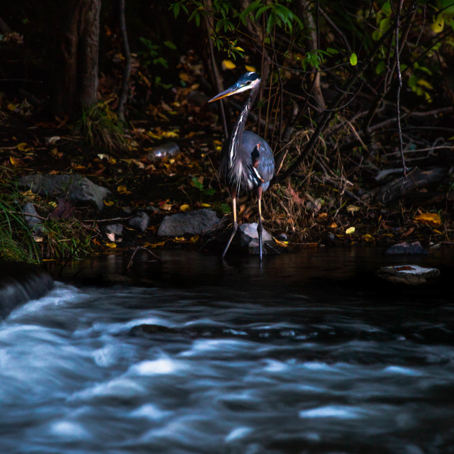 """Great Blue Heron beside Flowing Water"" stock image"