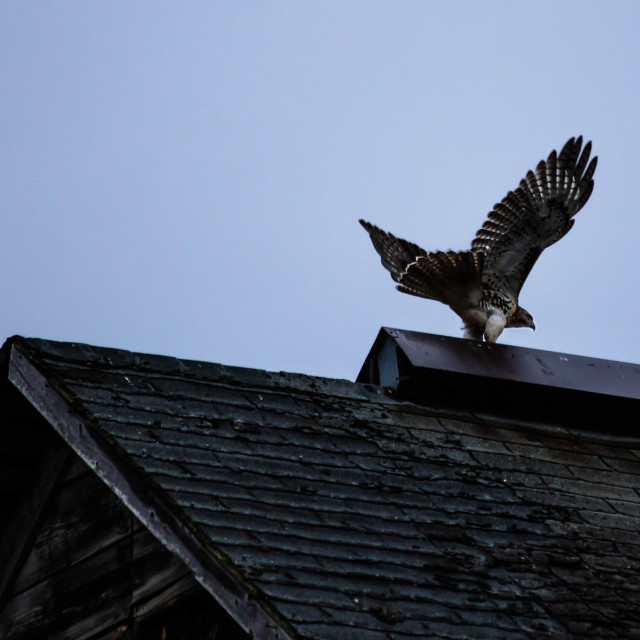 """Hawk taking flight from a barn roof, flying over the back edge"" stock image"